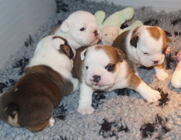 pupshappybulls