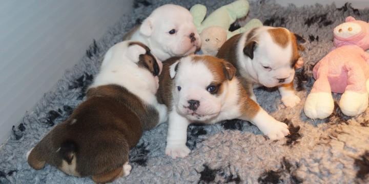 Puppies geboren bij Clubfokker Happy Bulls
