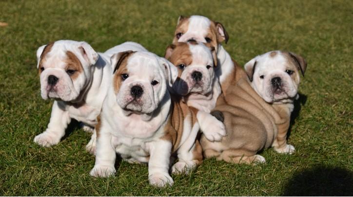 Puppies beschikbaar bij kennel From the Bullscompagnie