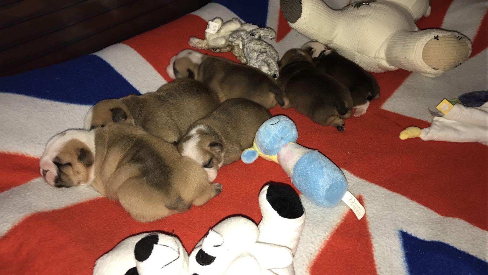 pups beschikbaar Josabulls