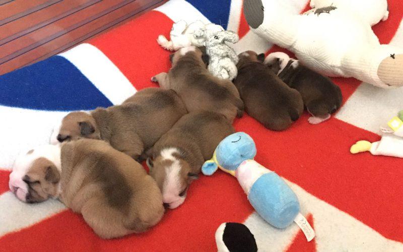 Pups beschikbaar bij kennel Josabulls