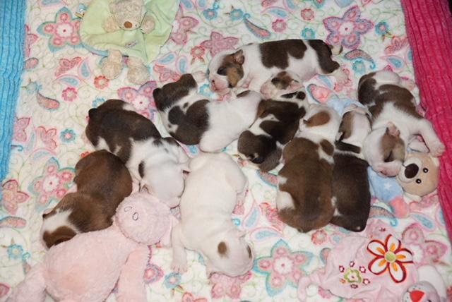 Pups beschikbaar bij kennel Respect-a-Bull